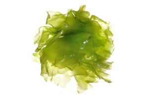 Green algae chlorella
